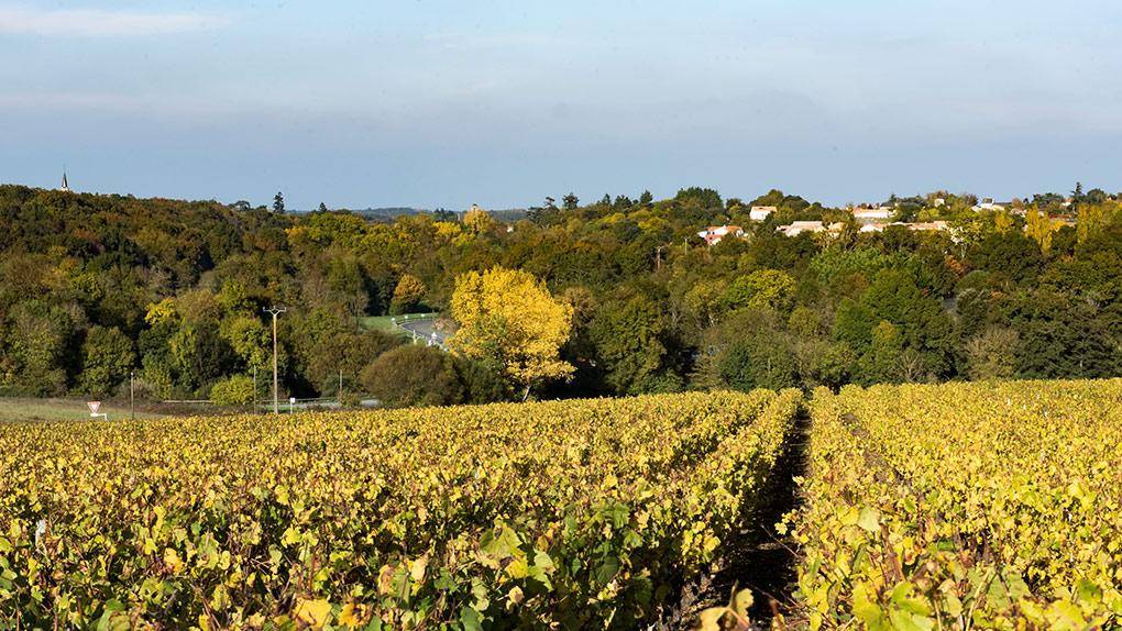Vignes à Corcoué-sur-Logne (44650)